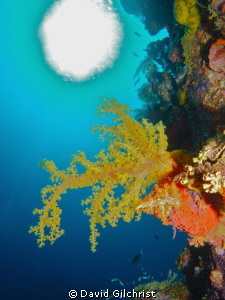 Yellow Soft Coral, Truk Lagoon by David Gilchrist 